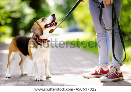 Young woman walking with Beagle dog in the summer park