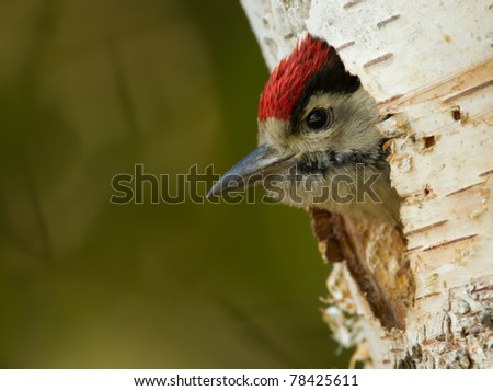 Young woodpecker - stock photo