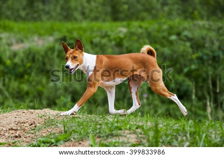young 1 year basenji dog trotting in forest