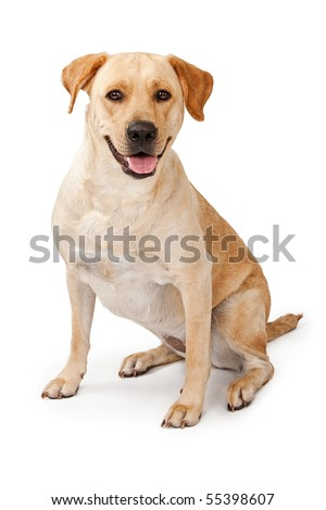 Young Yellow Labrador Retriever dog sitting down and isolated on white - stock photo