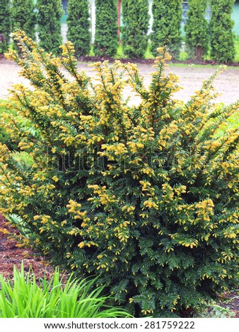 Young yew tree with new shoots on spring in garden        - stock photo