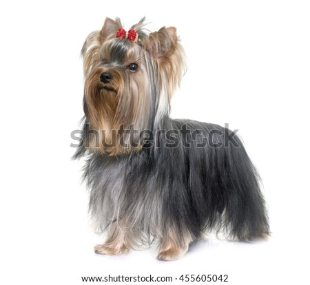 young yorkshire terrier in front of white background