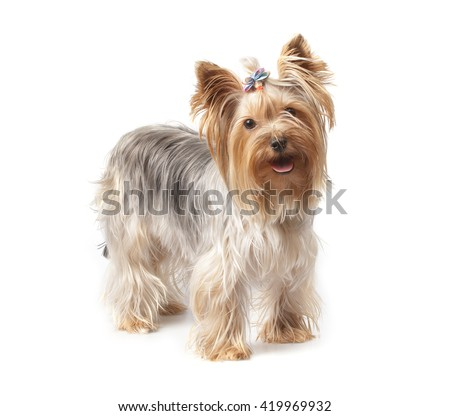 young Yorkshire Terrier isolated over white background