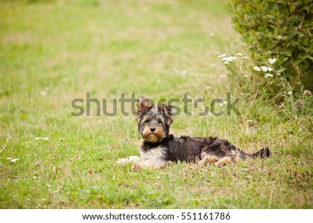 young Yorkshire terrier lying on grass