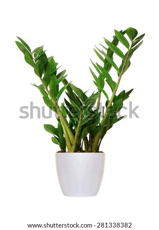 young Zamioculcas a potted plant isolated over white - stock photo