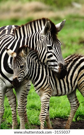 Young zebra cudling with mother showing caring nature of animal