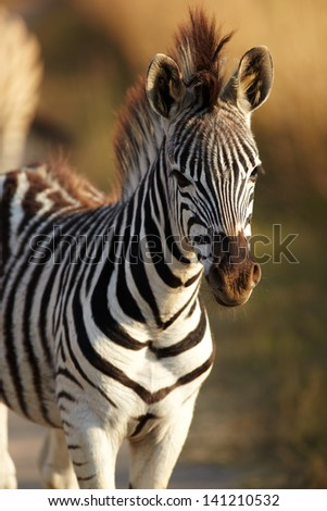 Young zebra in the wild - winter grass