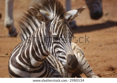 Young zebra lying down - stock photo