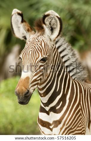 Young Zebra Profile - stock photo