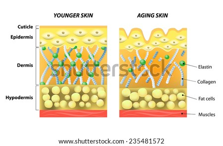 Hypodermis Stock Images, Royalty-Free Images & Vectors | Shutterstock