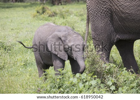 Yount elephant calf grazing in Ngorongoro Crater, Tanzania, Africa.