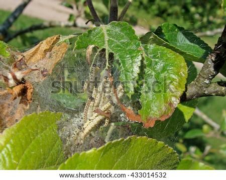 Yponomeuta malinellus or apple ermine moth larvae colony on apple tree in its web close up macro. - stock photo