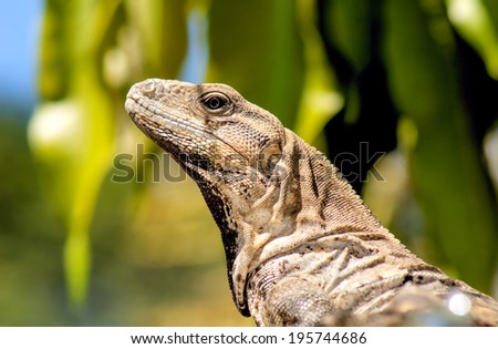 Yucatan Native Iguana or Toloc in the wild