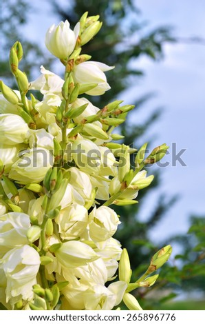 Yucca bushes in bloom closeup against blue sky - stock photo
