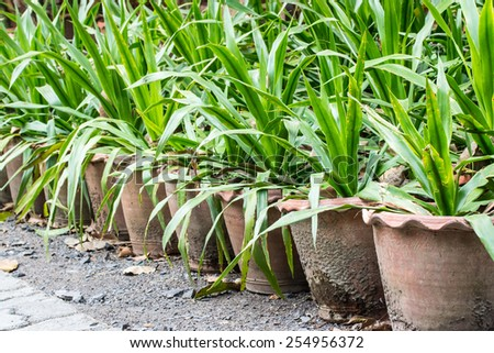 Yucca Potted Plant - stock photo
