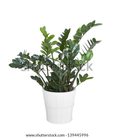 Zamioculcas zamiifolia plant with clipping path - stock photo