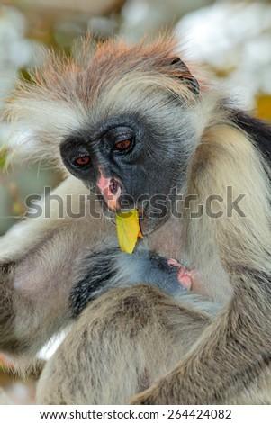 Zanzibar red colobus monkey (Procolobus kirkii) with baby, Jozani forest, Zanzibar - stock photo