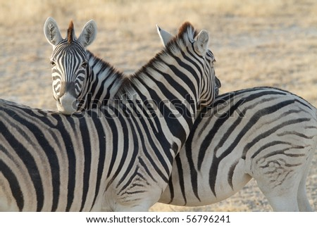 """an in depth look at the zebras Chasing zebras: the unofficial guide to house, md [barbara barnett] on amazoncom free shipping on qualifying offers """"i look for zebras because other doctors have ruled out all the horses"""" — dr gregory house medical students are taught that when they hear hoofbeats."""