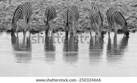Zebra - African Wildlife Background - Black and White Portrait of Pleasure - stock photo