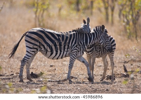 Zebra and foul displaying love and affection in the African savanna - stock photo