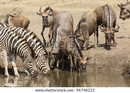 Zebra and Wildebeest drinking from a natural pan, South Africa