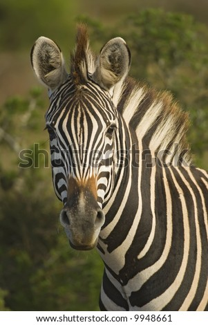 Zebra are fearless animals ,yet very curious - stock photo