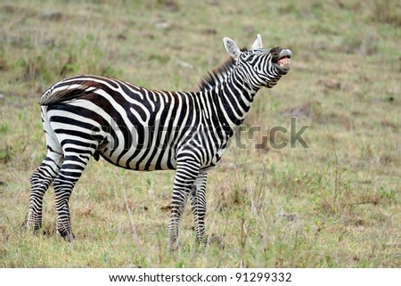 zebra at Masai Mara, KENYA