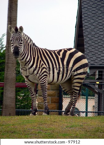 Zebra at the San Francisco Zoo. - stock photo