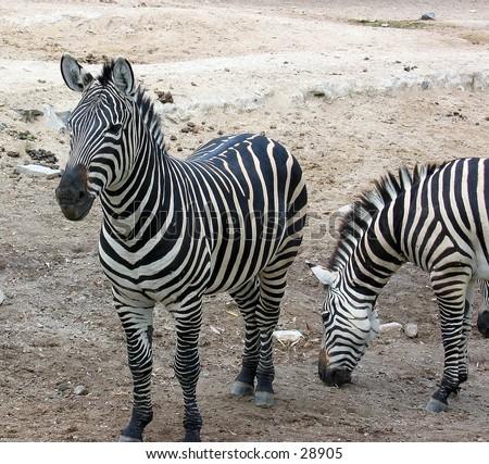 Zebra at the zoo in Guadalajara, Mexico - stock photo