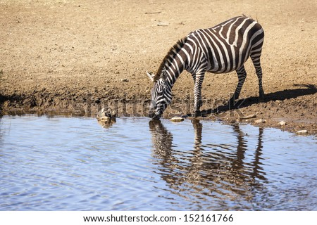 Zebra at waterhole  - stock photo