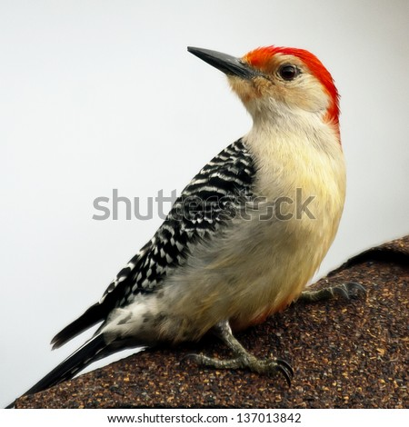 Zebra Backed Woodpecker