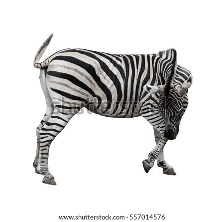 Zebra bending down and wagging the tail isolated on white background