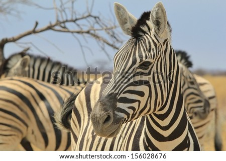 Zebra, Burchell's - Wildlife Background from Africa - Happiness is a thousand stripes.  Animal Kingdom tranquility.