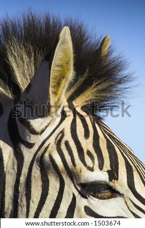 Zebra close up - stock photo