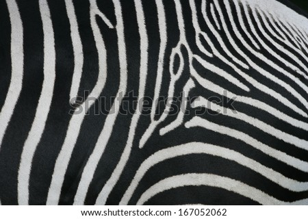 Zebra, close up of skin pattern, captive