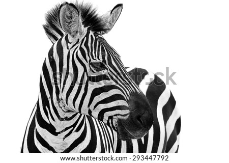 Zebra close up portrait. Zebra animal isolated on a white background  - stock photo