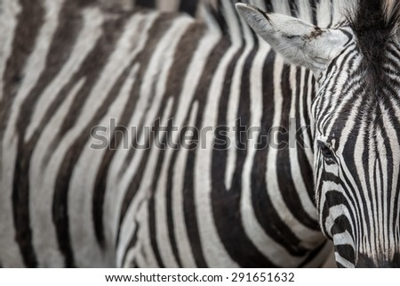 Zebra - close-up view with accent on the unique skin pattern we admire in this animal - stock photo