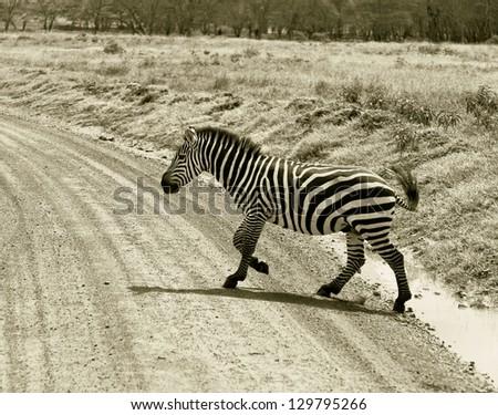 Zebra crossing the road in the Lake Nakuru National Park - Kenya, Eastern Africa (stylized retro) - stock photo
