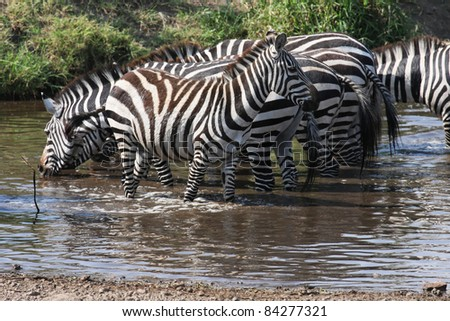 Zebra drinking at the river - stock photo