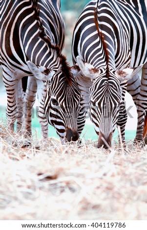 Zebra eating grass. - stock photo