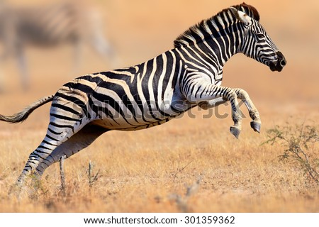 Zebra (Equus burchell's) running and jumping - Kruger National park (South Africa) - stock photo