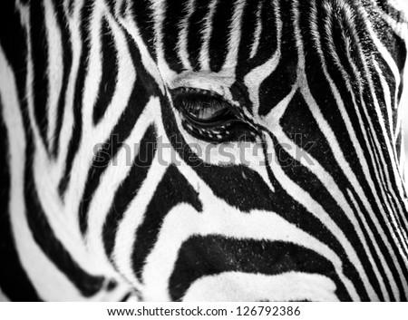 Zebra face profile - photo#11
