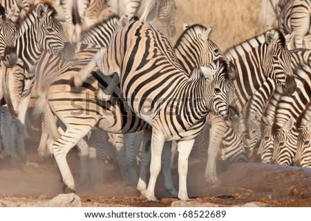 Zebra fighting - stock photo