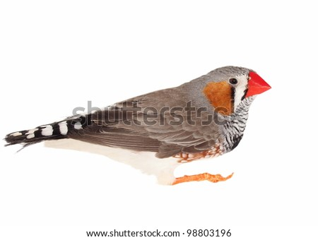 Zebra Finch, isolated on white background  with clipping path, Taeniopygia guttata - stock photo