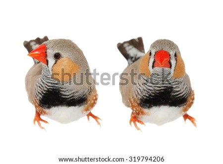 Zebra Finch male, isolated on white background with clipping path, Taeniopygia guttata - stock photo