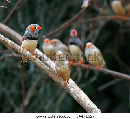 Zebra finch ( Taeniopygia guttata ) - stock photo