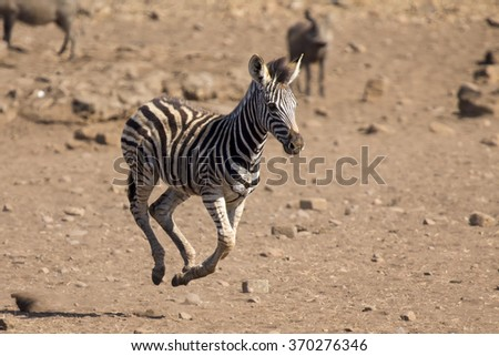 Zebra foal running away from danger to its mom - stock photo