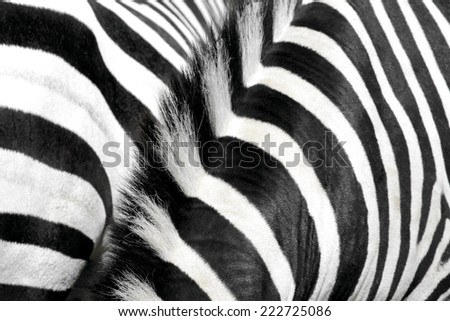 Zebra fur and mane - stock photo