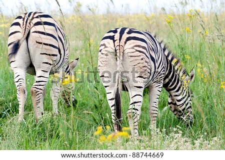 Zebra grazing - stock photo