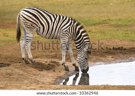 Zebra have to drink every day and are near water